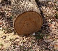 exposed tree rings